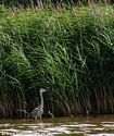 Grey Heron on the Weaver